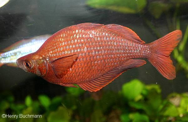 Lachsroter Regenbogenfisch/Glossolepis incisus