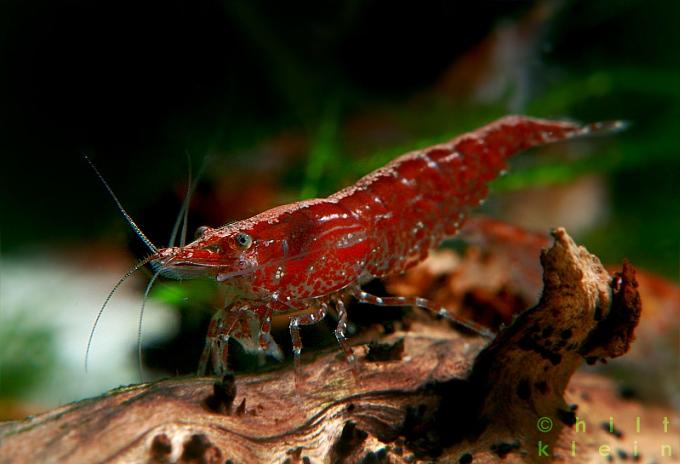 RedFire-Weibchen