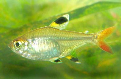 Sternflecksalmler Weibchen