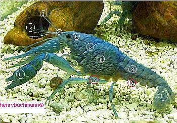 Procambarus alleni Anatomi