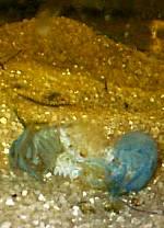 Procambarus alleni Häutung