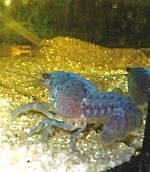 Procambarus alleni kurz nach der Häutung