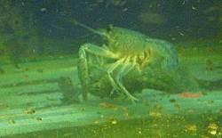 Procambarus alleni Paarung