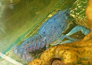 Procambarus alleni Dame mit Eier
