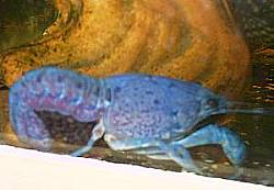 Procambarus alleni mit Eier