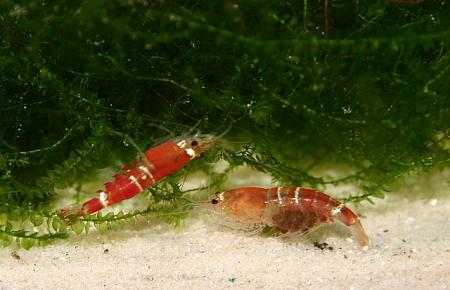 Christal Red Männchen und Weibchen