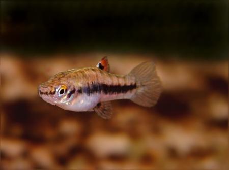Heterandria formosa - Weibchen