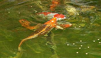 koi-diskus-center-illingen Koi