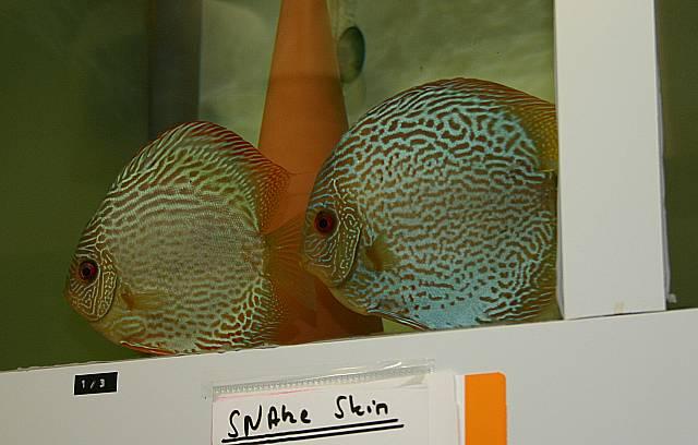 Zuchttiere  Snake Skin