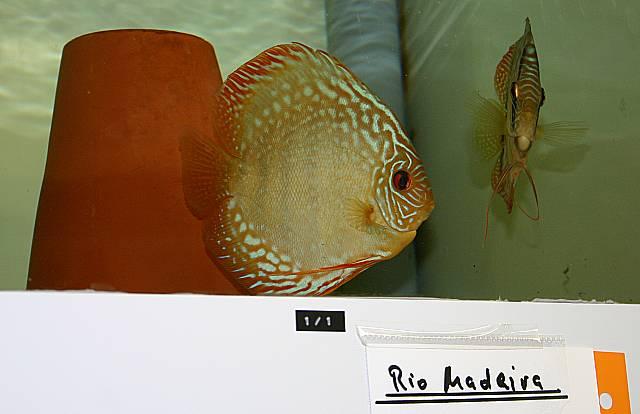 Zuchtpaare Rio Madeira